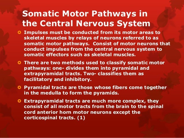 Somatic Motor Pathways in the Central Nervous System Impulses must be conducted from its motor areas to  skeletal muscles...