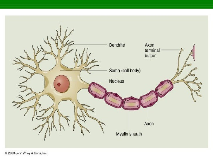 Nervous System Gross 1