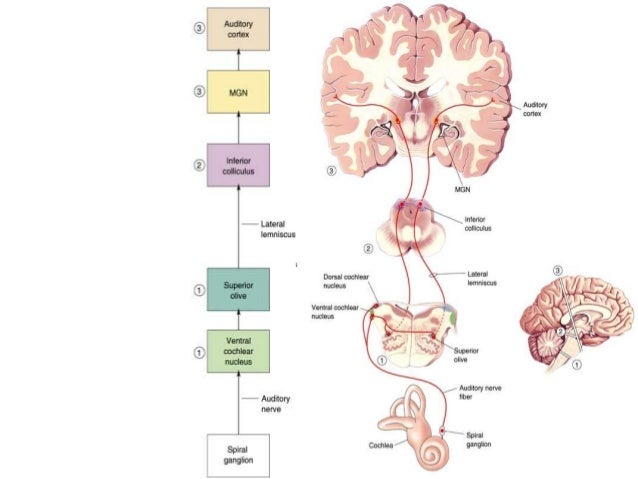 taste the gustatory system Request pdf on researchgate   gustatory system: the finer points of taste   as more receptors are defined, researchers will further unlock the mechanics of taste how the mind perceives these sensory signals is another matter.