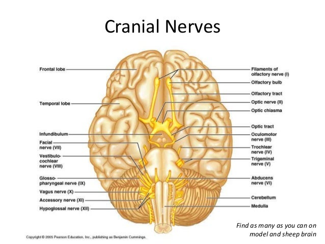 The nervous system facial muscles taste from anterior tongue 83 vestibulocochlear nerve ccuart Gallery