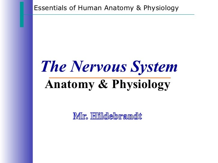 The Nervous System Anatomy & Physiology  Essentials of Human Anatomy & Physiology