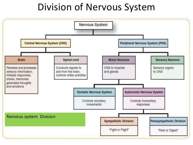 Nervous system unit iii stds division of nervous system nervous system division ccuart Image collections