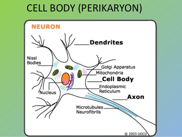 638 x 479 jpeg 58kBOligodendrocytes