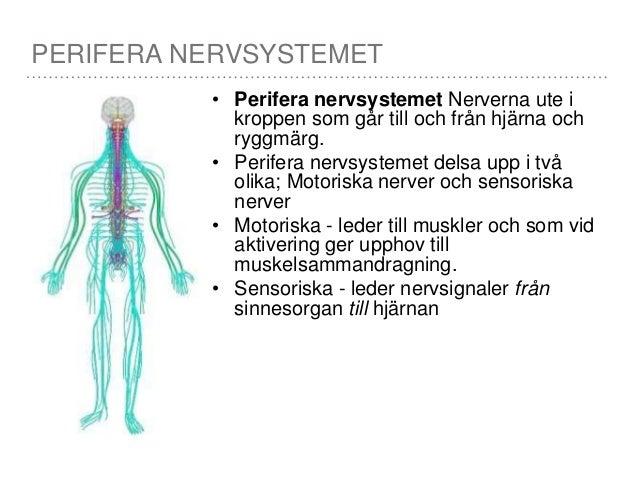 det centrala nervsystemet