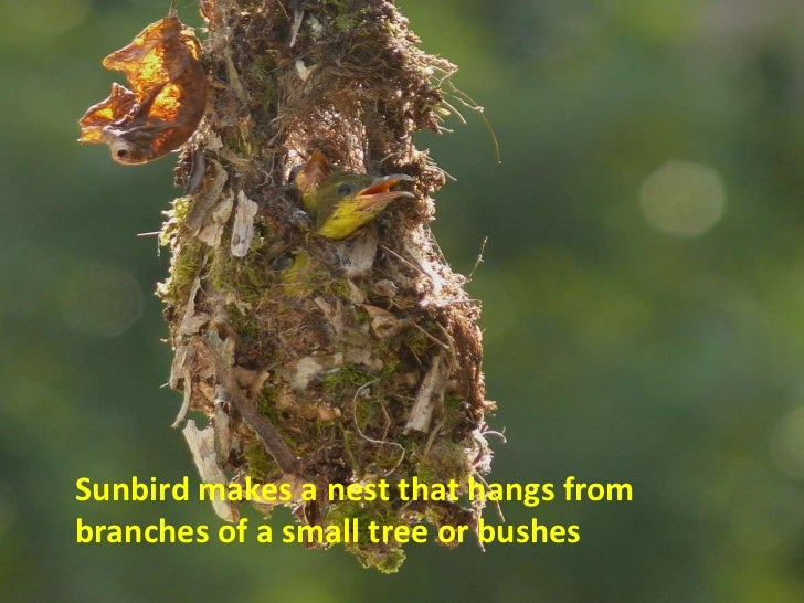 Sunbird makes a nest that hangs frombranches of a small tree or bushes