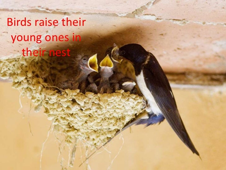 Birds raise their young ones in   their nest