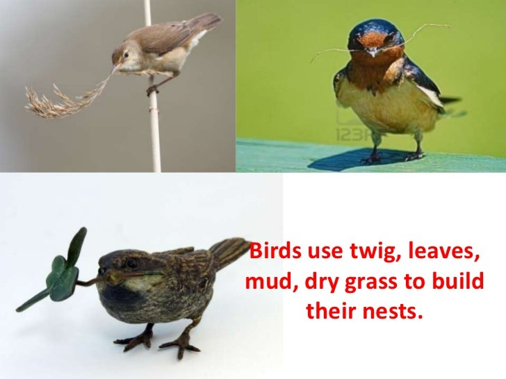 Birds use twig, leaves,mud, dry grass to build      their nests.