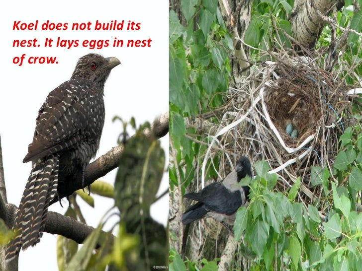 Koel does not build itsnest. It lays eggs in nestof crow.