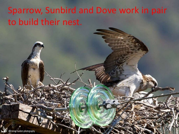 Sparrow, Sunbird and Dove work in pairto build their nest. `