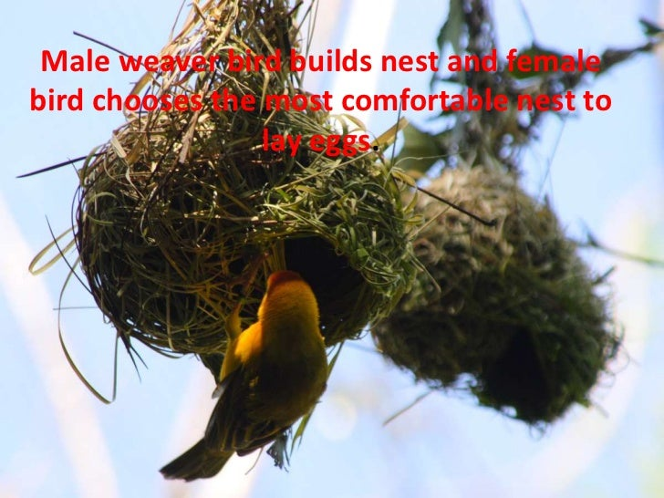 Male weaver bird builds nest and femalebird chooses the most comfortable nest to                 lay eggs.