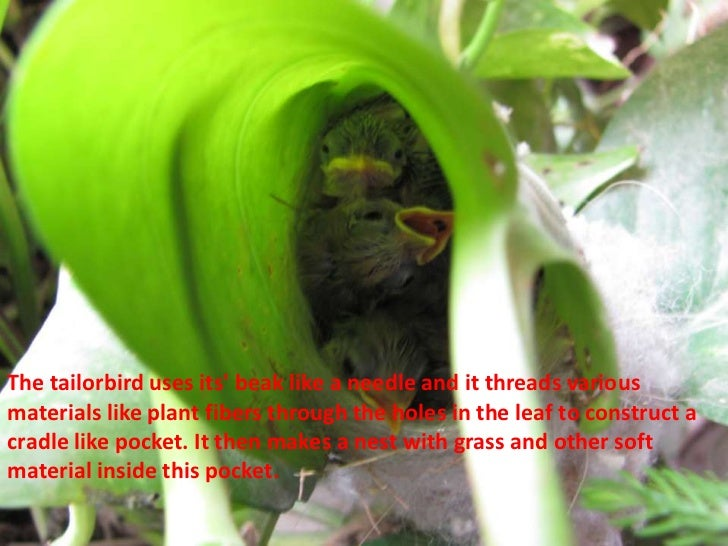 The tailorbird uses its beak like a needle and it threads variousmaterials like plant fibers through the holes in the leaf...