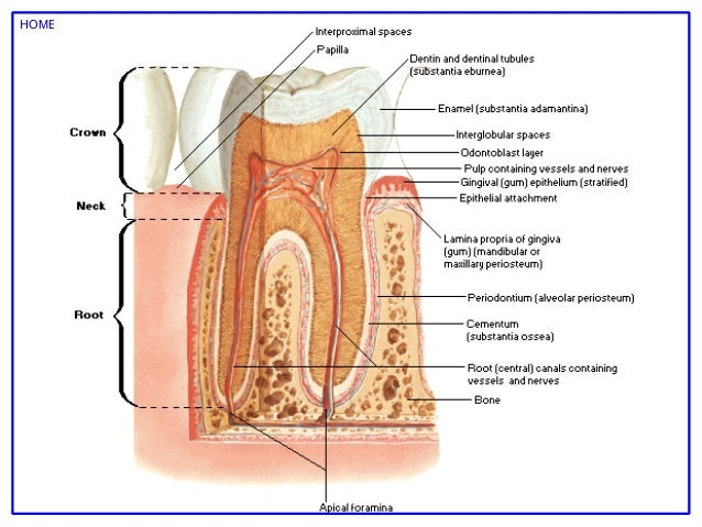 Netter s Atlas of Human Anatomy