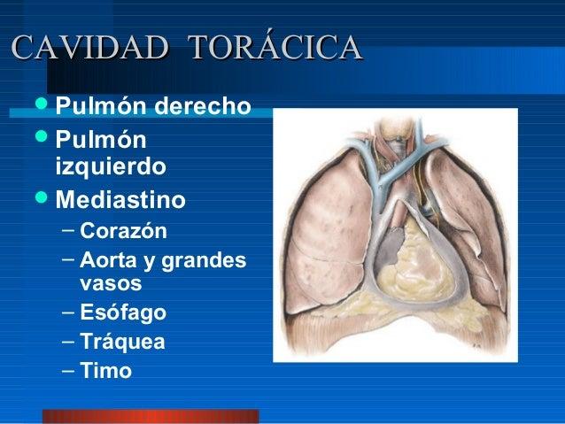 CAVIDAD TORÁCICA  Pulmón   derecho  Pulmón   izquierdo  Mediastino   – Corazón   – Aorta y grandes     vasos   – Esófag...
