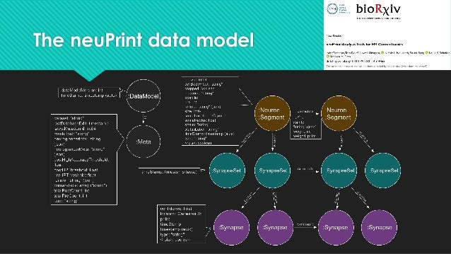 The neuPrint data model