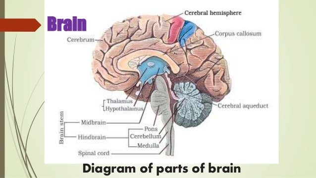 Neural control and coordination ppt presentation class 11 biology nce brain diagram of parts of brain ccuart Images