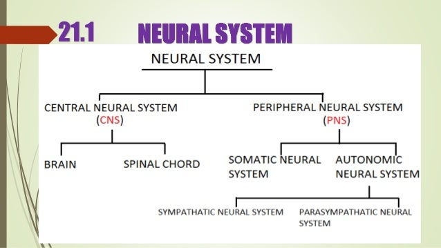 Neural control and coordination ppt presentation class 11 biology nce 211 6 ccuart Image collections