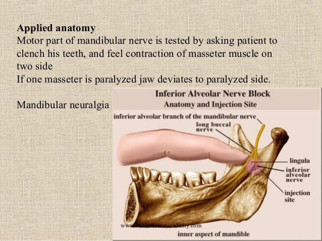 Famous Applied Anatomy Of Mandibular Nerve Pictures - Anatomy And ...
