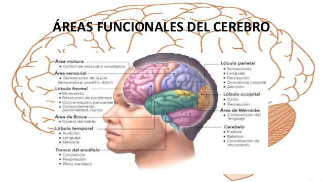 Neuroanatomía del encéfalo