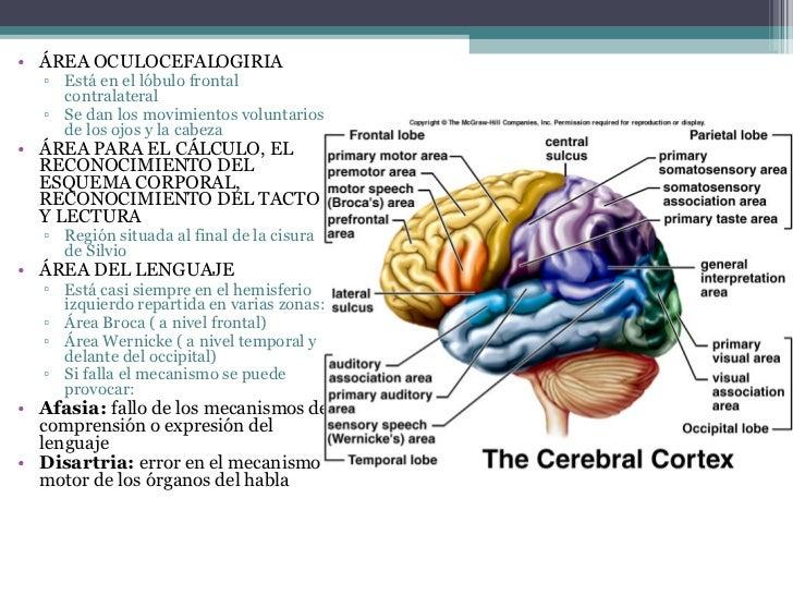 Hemisferios Y Lobulos Cerebrales