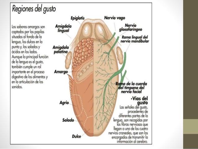 Neuroanatomia sentido del gusto