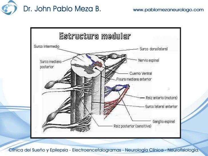 Neuroanatomia anatomia de la médula espinal