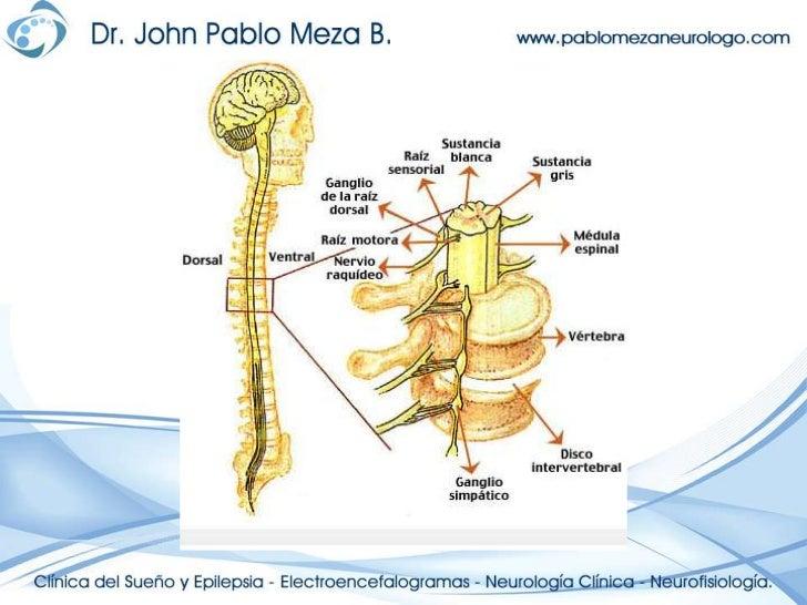 Moderno Describir La Anatomía De La Médula Espinal Bandera ...