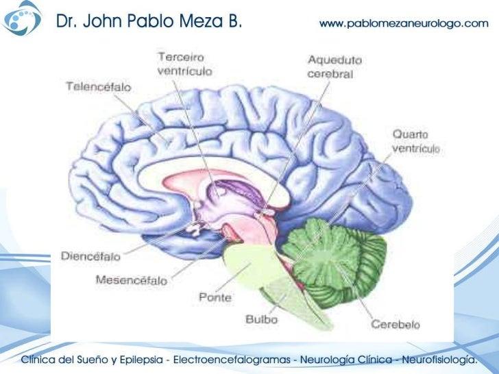 Neuroanatomia anatomia del diencefalo