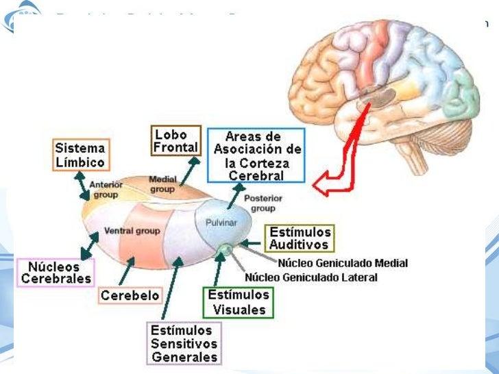 Atractivo Anatomía Del Tálamo Fotos - Anatomía de Las Imágenesdel ...