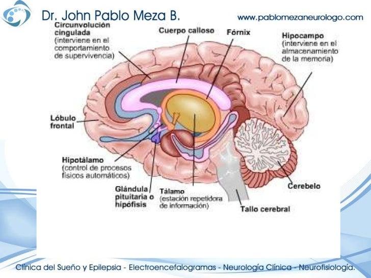 Dorable Volar La Anatomía Del Cerebro Composición - Anatomía de Las ...