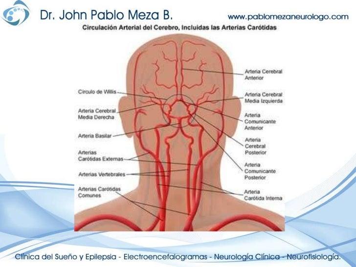 Perfecto Vasculatura Cerebral Anatomía Friso - Anatomía de Las ...
