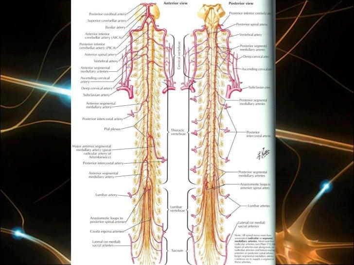 Angelo machado neuroanatomia