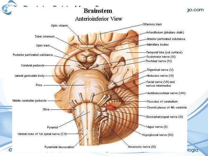 Bonito Diagrama De Tronco Cerebral Colección - Anatomía y Fisiología ...