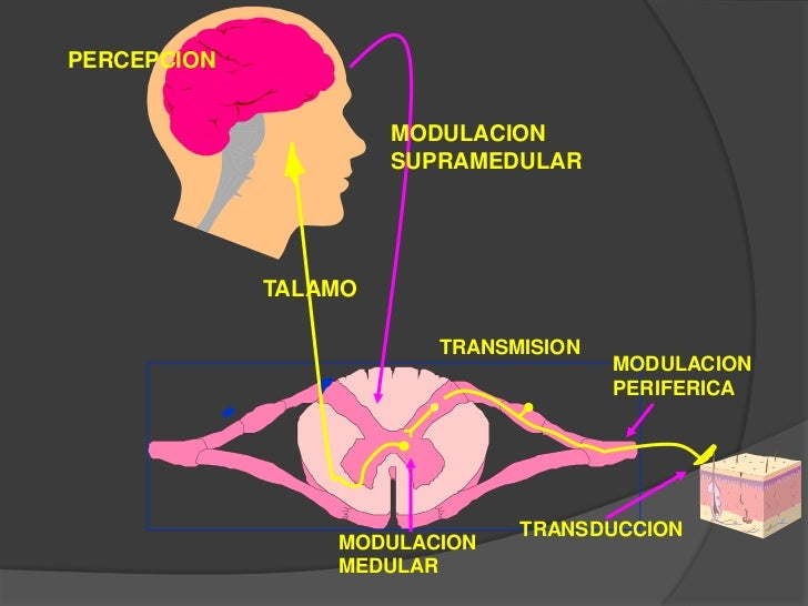 Neuroanatomia y fisiologia del dolor