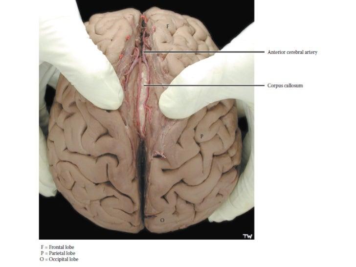 Neuroanatomia general
