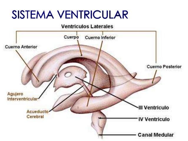 sistema-ventricular-4-638.jpg?cb=1446229294