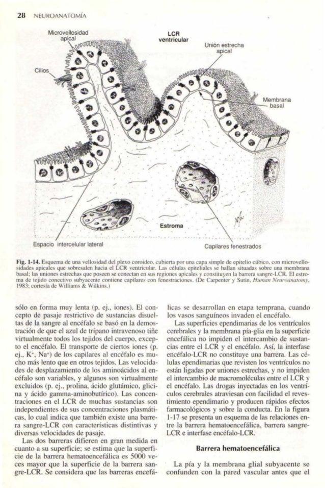 Neuroanatomia carpenter 4 ed