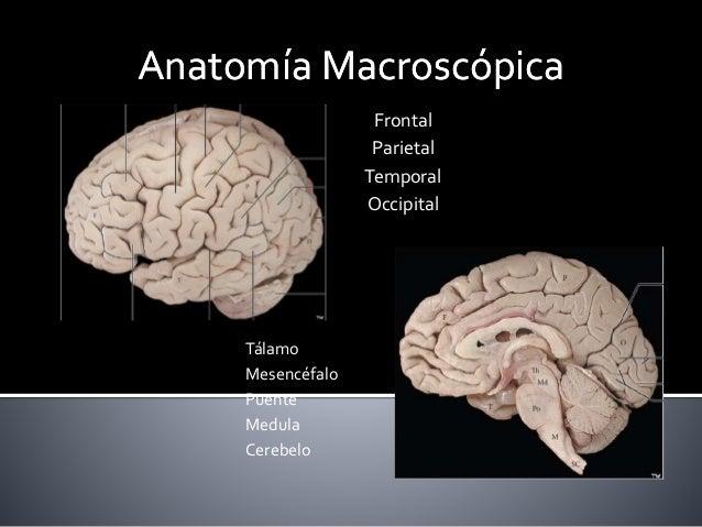 Anatomía MacroscópicaAnatomía Macroscópica Frontal Parietal Temporal Occipital Tálamo Mesencéfalo Puente Medula Cerebelo