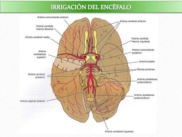 Irrigación del encéfalo y la médula espinal