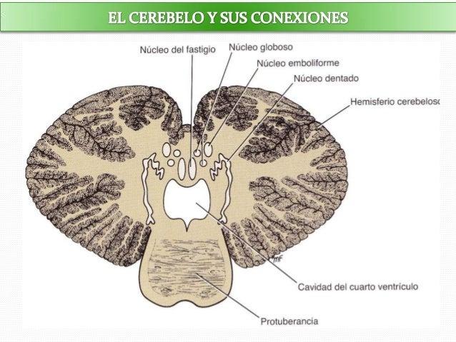 Resultado de imagen de cerebelo imagen