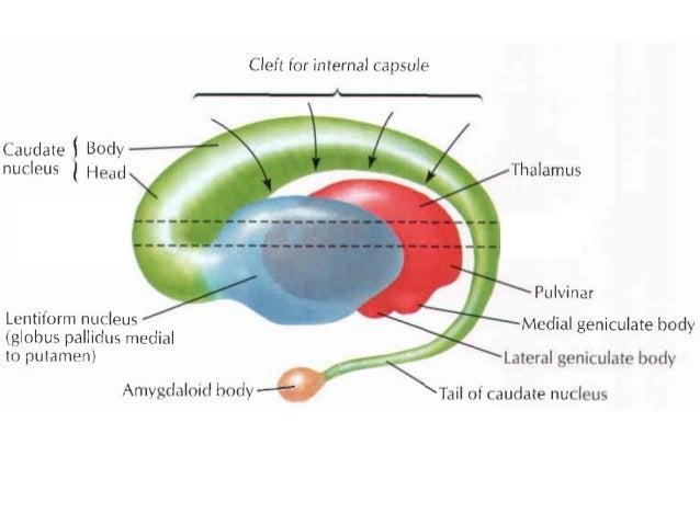 Basal Ganglia Reticular Formation Limbic System
