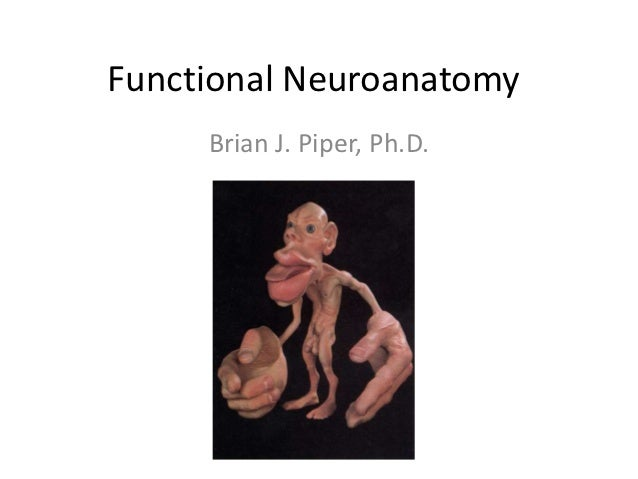Functional Neuroanatomy     Brian J. Piper, Ph.D.