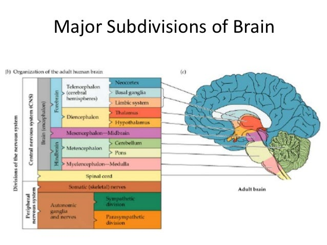 Pathophysiology Neuroanatomy Part II