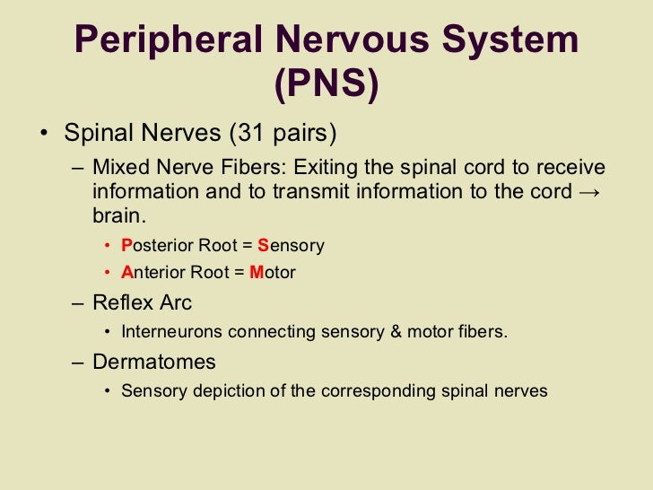 Peripheral Nervous System (PNS) <ul><li>Spinal Nerves (31 pairs)  </li></ul><ul><ul><li>Mixed Nerve Fibers: Exiting the sp...