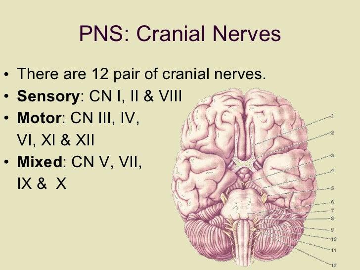 PNS: Cranial Nerves <ul><li>There are 12 pair of cranial nerves.  </li></ul><ul><li>Sensory : CN I, II & VIII </li></ul><u...
