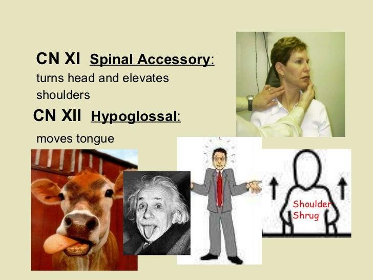 <ul><li>  </li></ul><ul><li>CN XI  Spinal Accessory :   </li></ul><ul><li>turns head and elevates  </li></ul><ul><li>shoul...