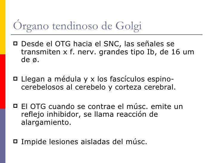 Moderno Golgi órgano Tendinoso De La Anatomía Colección - Anatomía ...