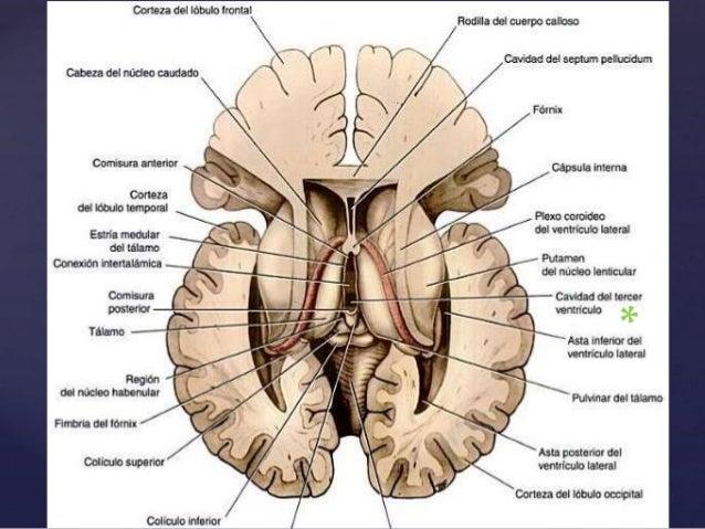 Neuroanatomía Snell Cap 7 \
