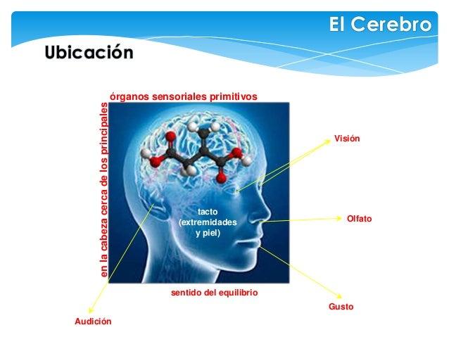 enlacabezacercadelosprincipales Ubicación Visión órganos sensoriales primitivos tacto (extremidades y piel) Audición Olfat...