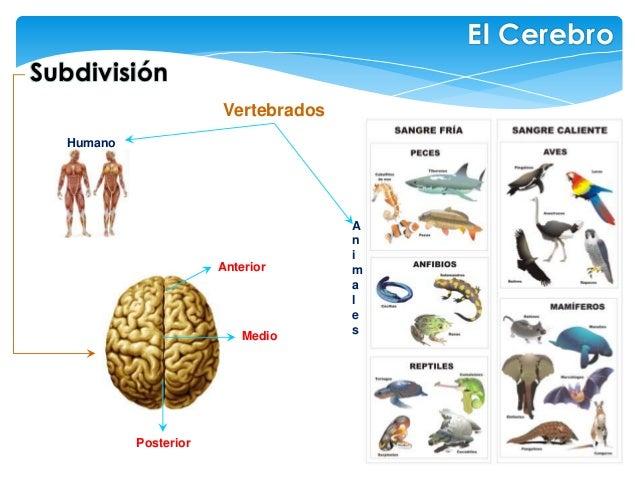 Anterior Medio Posterior Vertebrados Humano Subdivisión El Cerebro A n i m a l e s