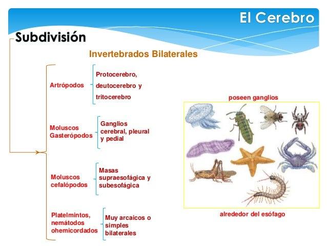 Invertebrados Bilaterales Subdivisión El Cerebro poseen ganglios Protocerebro, deutocerebro y tritocerebro Artrópodos Gang...
